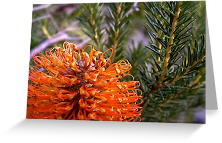 Banksia bloom by Michelle Ricketts