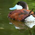 Ruddy Duck Reflections by Kimberly Chadwick