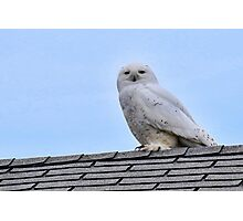 """Amber"" The Snowy Owl Photographic Print"
