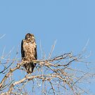 Juvenile Eagle 2015-7 by Thomas Young