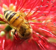Bee Macro by Stephanie Jensen