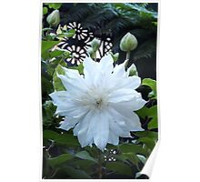 Double Clematis Beauty Poster