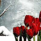Winter Tulips by Morag Bates