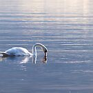 Graceful swan by Arve Bettum