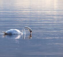 Graceful swan by Arve Bettum