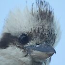 Kookaburra by Vikki Shedden Photography