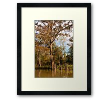 Cypress Trees & Cypress Knees Framed Print