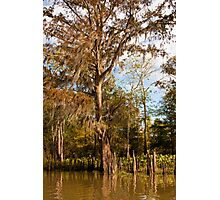 Cypress Trees & Cypress Knees Photographic Print