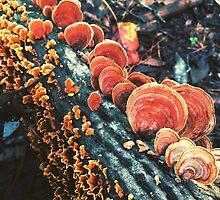 Orange Turkeytails by thedesignvine