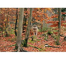 Mr. Wolf Photographic Print