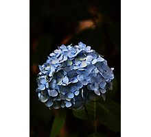 An Autumn Hydrangea Photographic Print