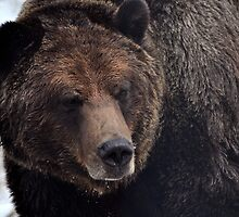 Brown bear, Grouse Mountain by Olivia Johnston