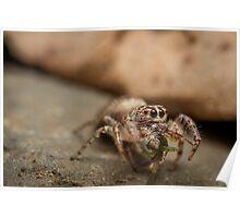 (Servaea vestita) Jumping Spider Feeding Poster