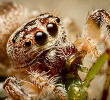 (Servaea vestita) Jumping Spider Feeding #2 by Kerrod Sulter