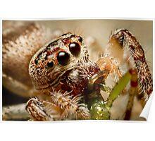 (Servaea vestita) Jumping Spider Feeding #2 Poster
