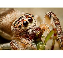 (Servaea vestita) Jumping Spider Feeding #2 Photographic Print