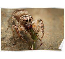 (Servaea vestita) Jumping Spider Feeding #3 Poster