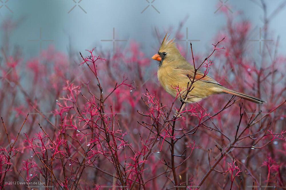 Female Cardinal by (Tallow) Dave  Van de Laar
