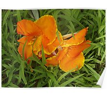 Orange Hibiscus Flowers in the grass Poster