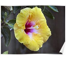 Yellow Hibiscus Flowers Poster