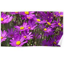 Purple Gazania Flowers at Te Arai Surf Beach Poster
