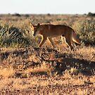 Dingo, Australia by Tim Coleman
