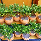 Little Olive Trees From Provence by Fara