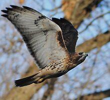 Redtail Hawk on the Hunt by Thomas Mckibben