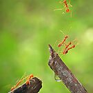 Ants catch another falling ant by AdhiPrayoga