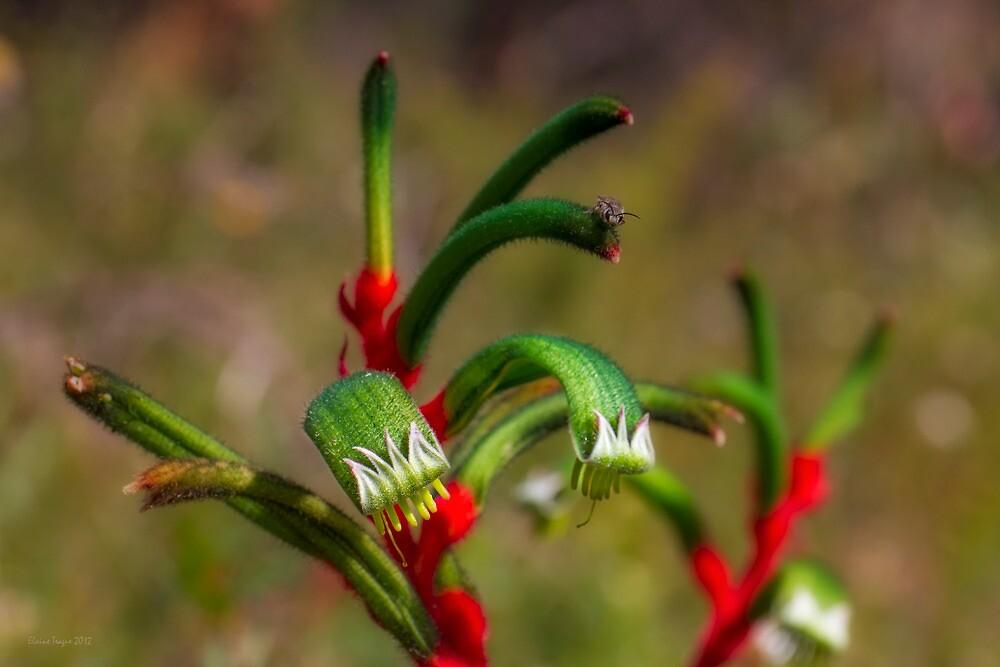 Kangaroo Paw (Anigozanthos manglesii) #5 by Elaine Teague