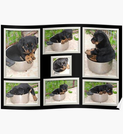 Collage Of Puppy Rottweiler Sitting In Food Bowl Poster