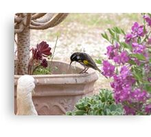 New Holland Honeyeater watching ants in the Pot. Adelaide Hills. Metal Print