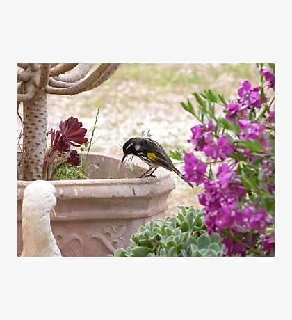 New Holland Honeyeater watching ants in the Pot. Adelaide Hills. Photographic Print