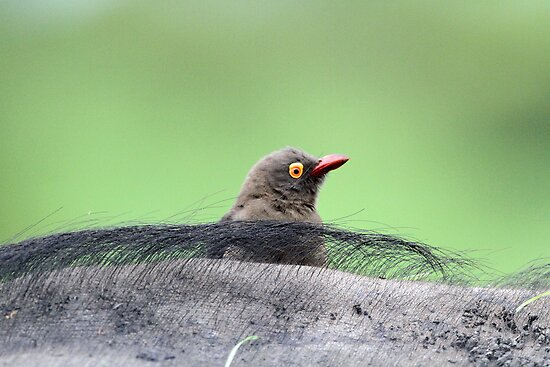 Buffalo and red billed oxpecker?symbioisis by jozi1