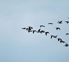 Barnacle Geese Flying to Roost by Sue Robinson