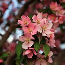 Crab apple flowers in spring by jayant