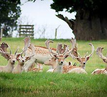 deer of Woburn abbey  by DrewWebbPhoto