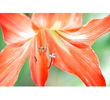 Pink Lady Lily Photographic Print