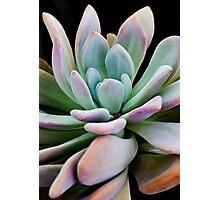 Graptopetalum Succulent Plant Photographic Print