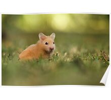 golden hamster pets on lawn Poster
