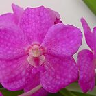 Ascosenda John de Biase 'Lakeland Pink' by Mostlyorchids