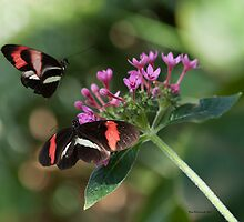 Two Butterflies by Pamela Holdsworth