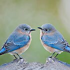 Bluebirds in November by Bonnie T.  Barry