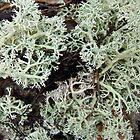 Reindeer Lichen - Cladonia rangiferina by MotherNature