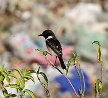 Stonechat by magiceye