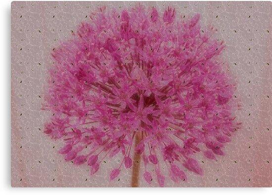 Allium by AnnDixon