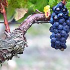 black grape of 'pinot noir' by Carine LUTT