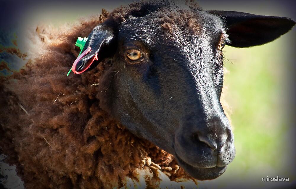 The happy sheep by miroslava