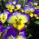 Lavender and yellow pansies by flips99