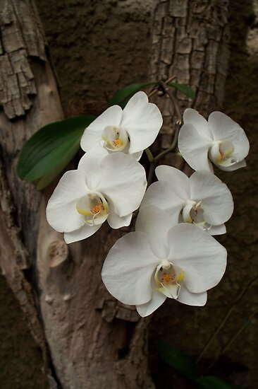 Orchids in bloom by Katherine Burdon